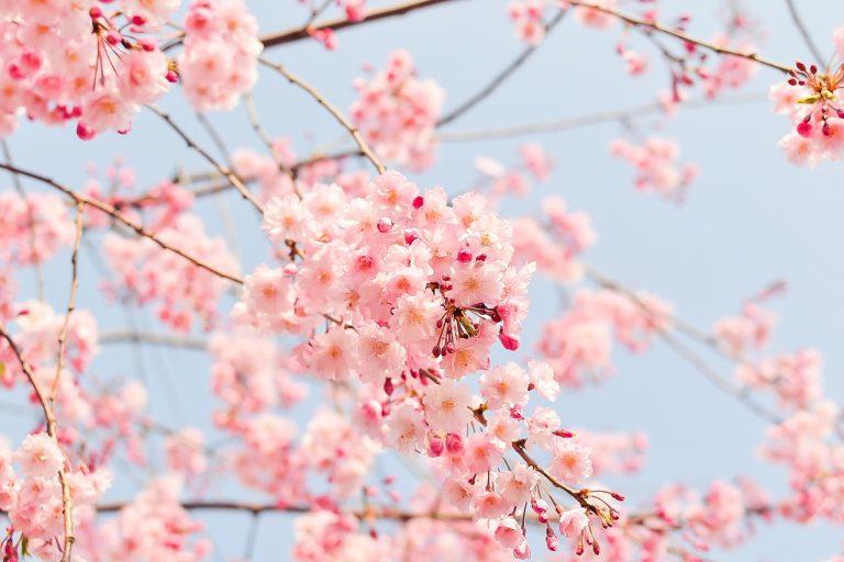ゴールデンウィークは桜が見頃な北海道へ!子供も喜ぶ新幹線で旬の函館はいかが。