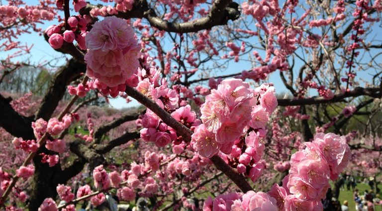 平岡公園梅まつり2019年の日程と開花状況!梅林近くの駐車場はココ!