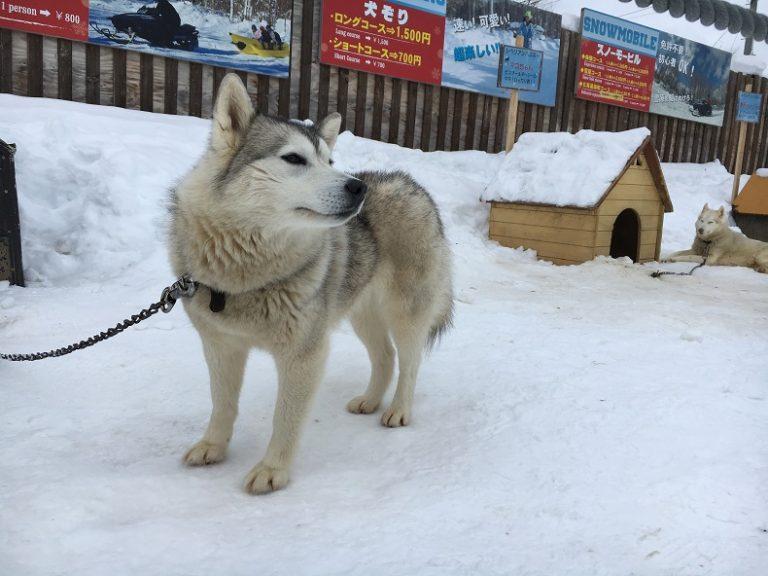 冬はノースサファリサッポロで犬ぞり体験!割引クーポンがお得だよ