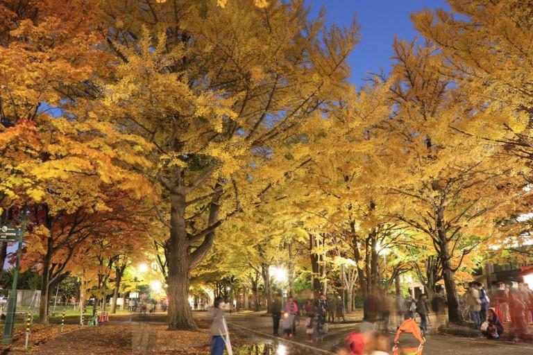 必見!北海道大学イチョウ並木のライトアップ!紅葉と金葉祭を楽しむ