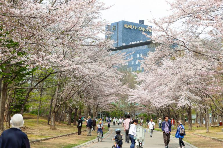 【中島公園の桜】開花状況を確認して見頃にお花見へ行こう!