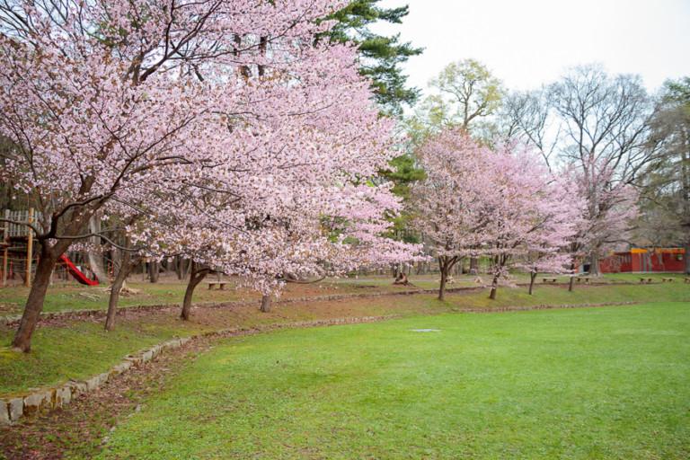 【円山公園の桜】バーベキューOK期間・開花状況を確認して見頃にお花見へ行こう!