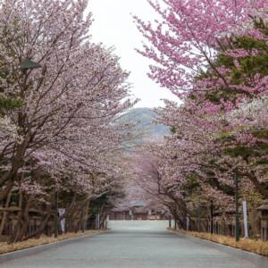 令和 最初のお花見は札幌で!GW桜の名所、見どころスポットを厳選!