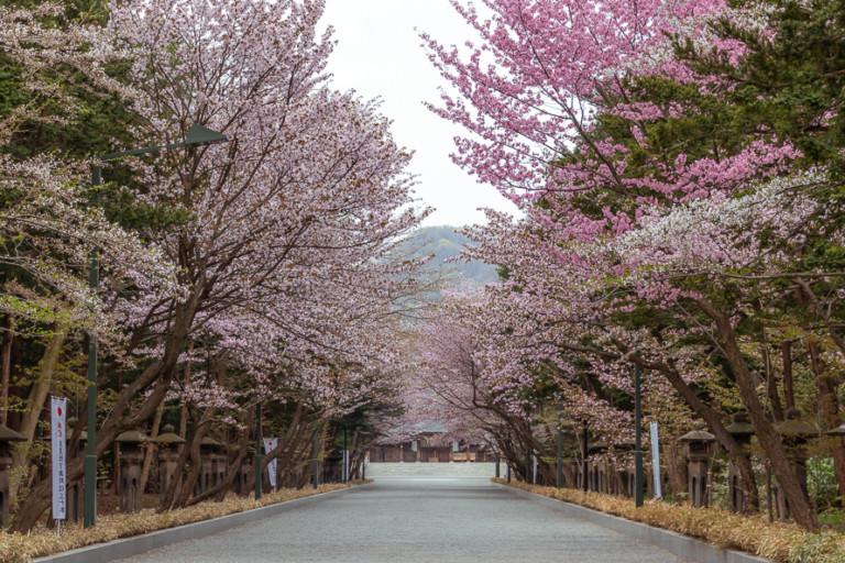 【北海道神宮の桜】露天の営業期間・開花状況を確認して見頃にお花見へ行こう!