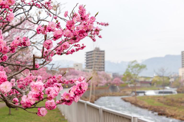 【琴似発寒川の桜】発寒河畔公園は梅の開花状況も確認して見頃に花見へ行こう!