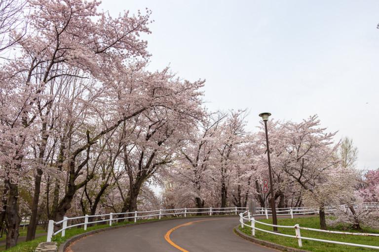 【農試公園の桜】開花状況を確認して見頃にお花見へ行こう!