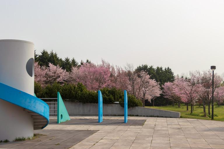 【モエレ沼公園の桜】サクラの森でお花見!開花状況を確認して見頃に行こう!