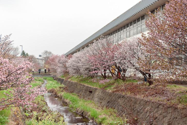 【寒地土研究所の千島桜】開花状況・一般開放日を確認して見頃に行こう!