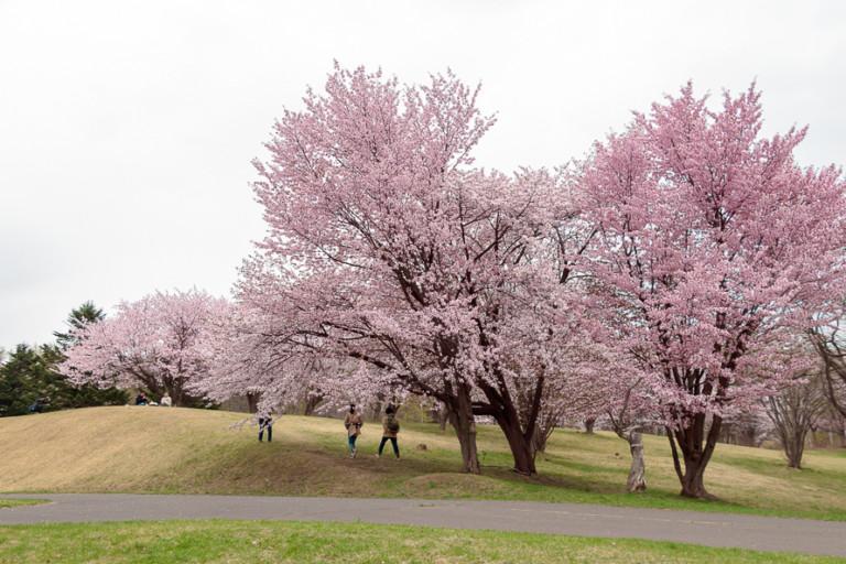 【真駒内公園の桜】開花状況を確認して見頃にお花見へ行こう!